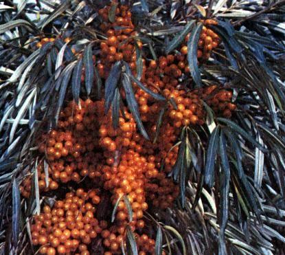 Сорта винограда аксайский маникюр